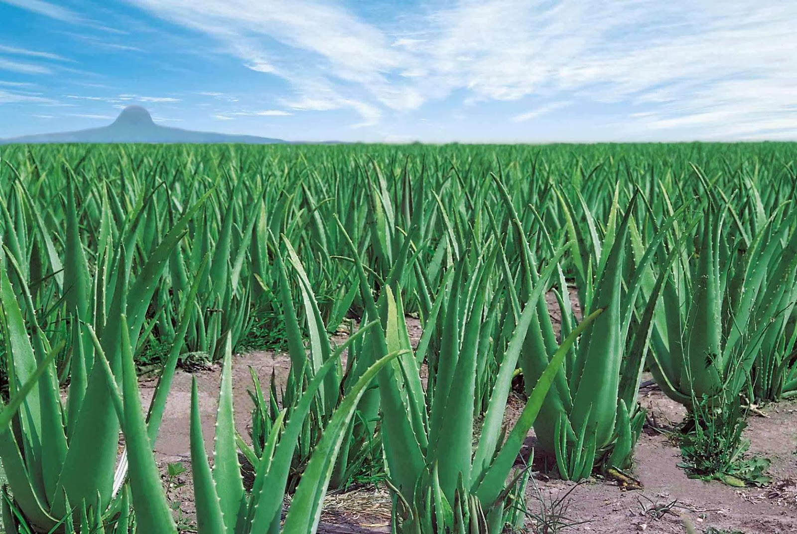 Aloe-Vera-landscape